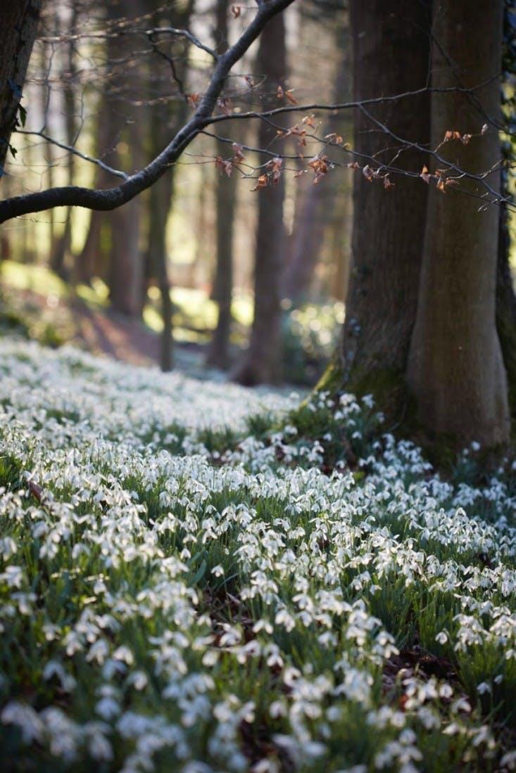 Vintergæk i skovbund i England