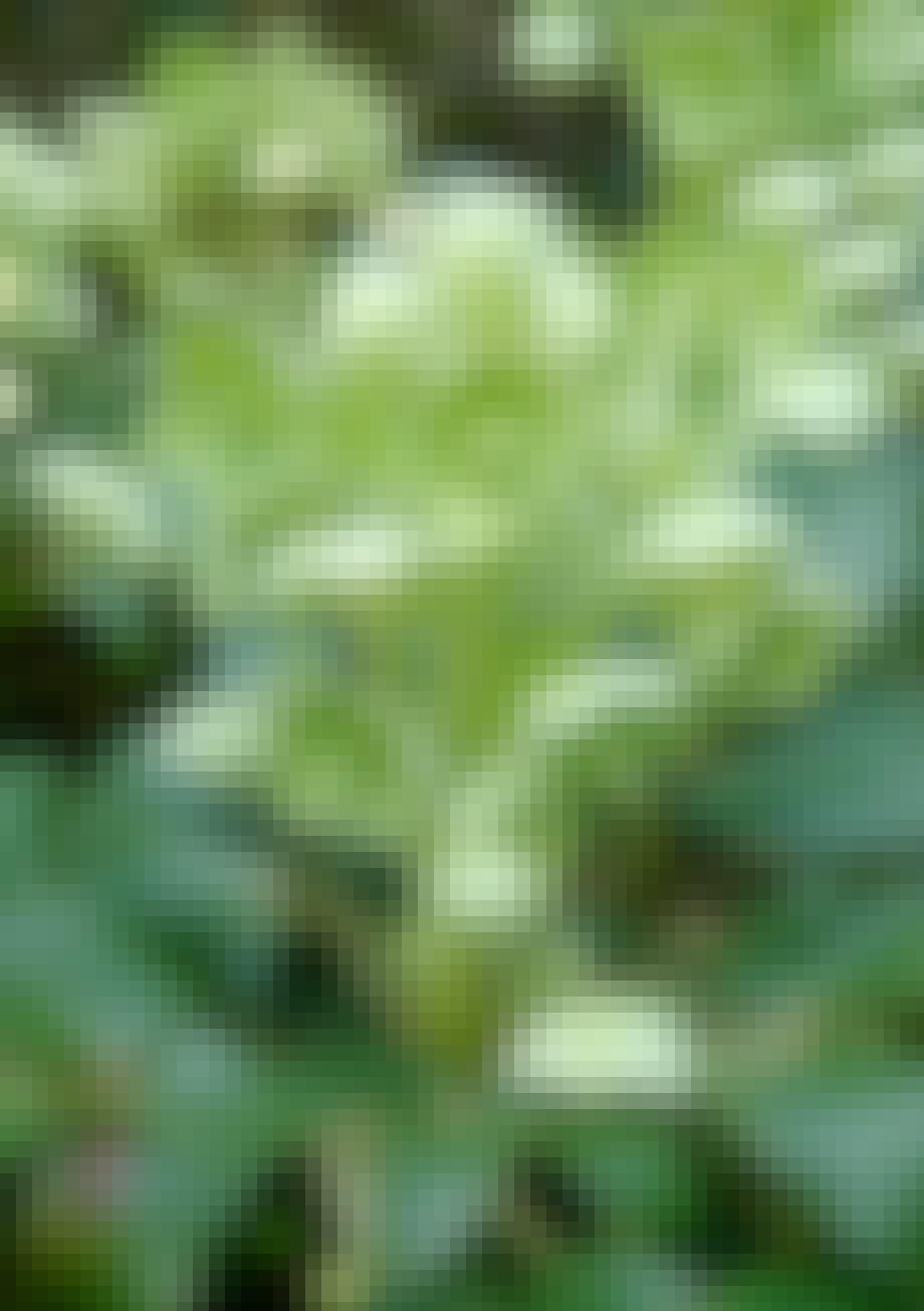 Helleborus blomstrer fra december