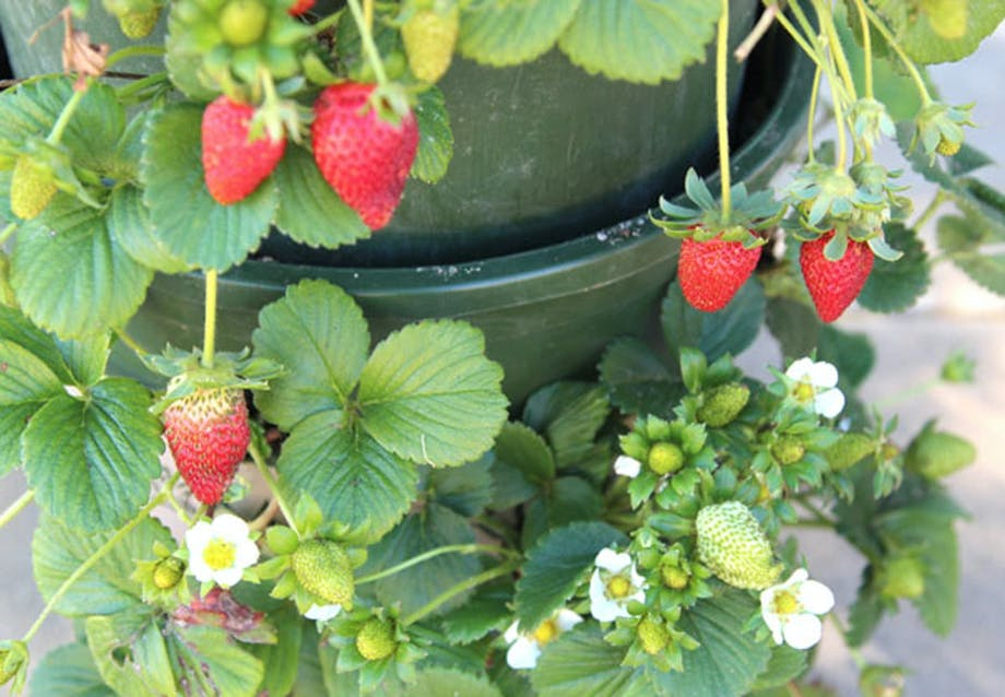 Få din egen jordbærbusk