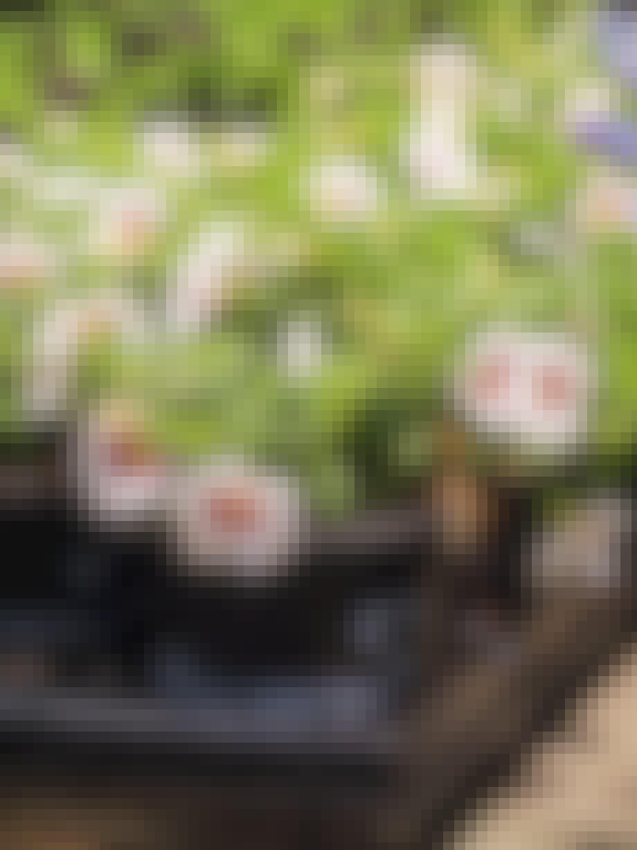 Mini Petunia