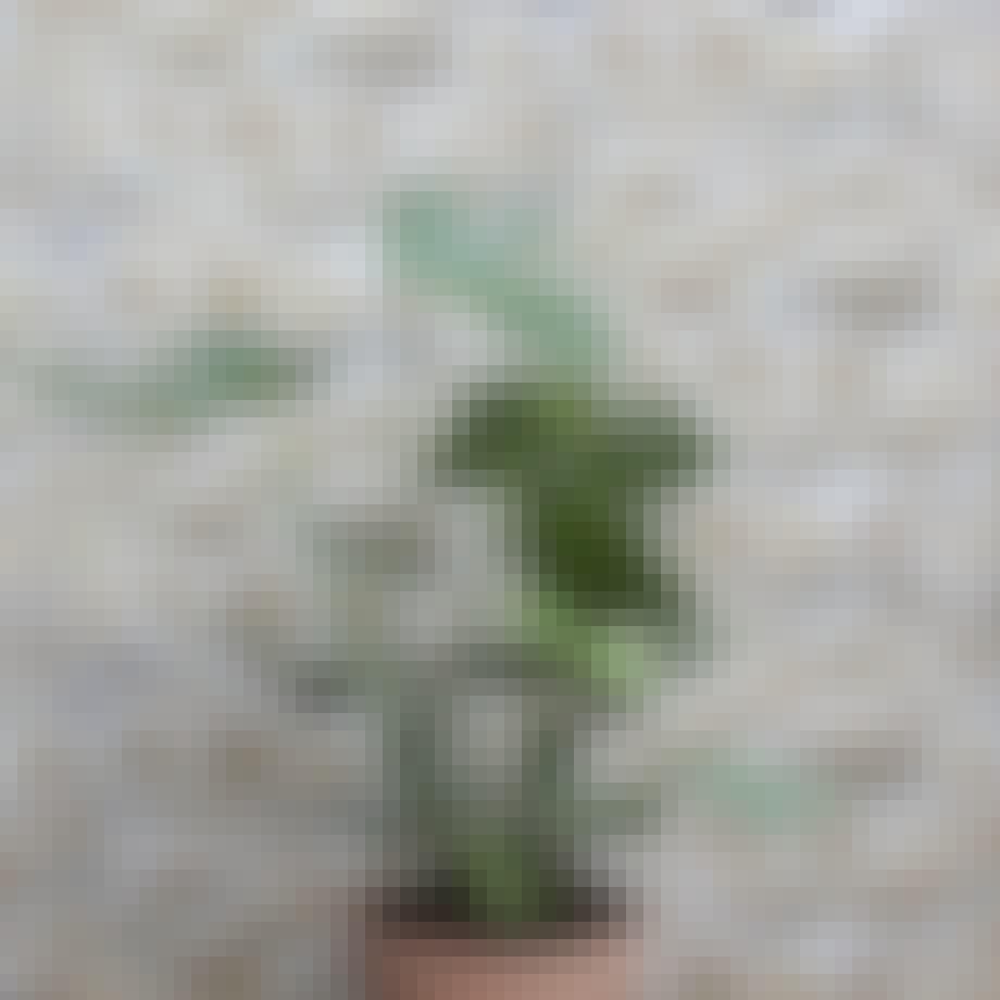 plante MONSTERA DELICIOSA
