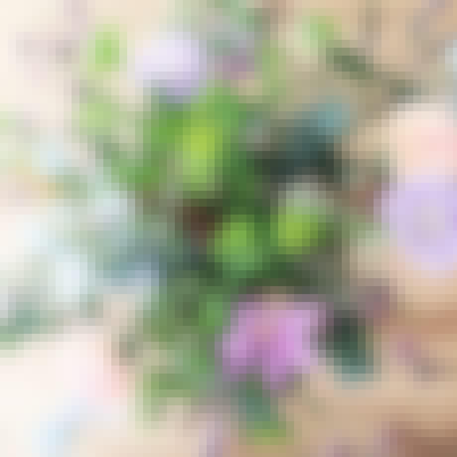 Happyflower blomster og planter
