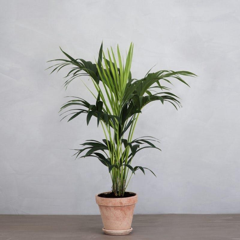 kentiapalme greenify stuepalme palme