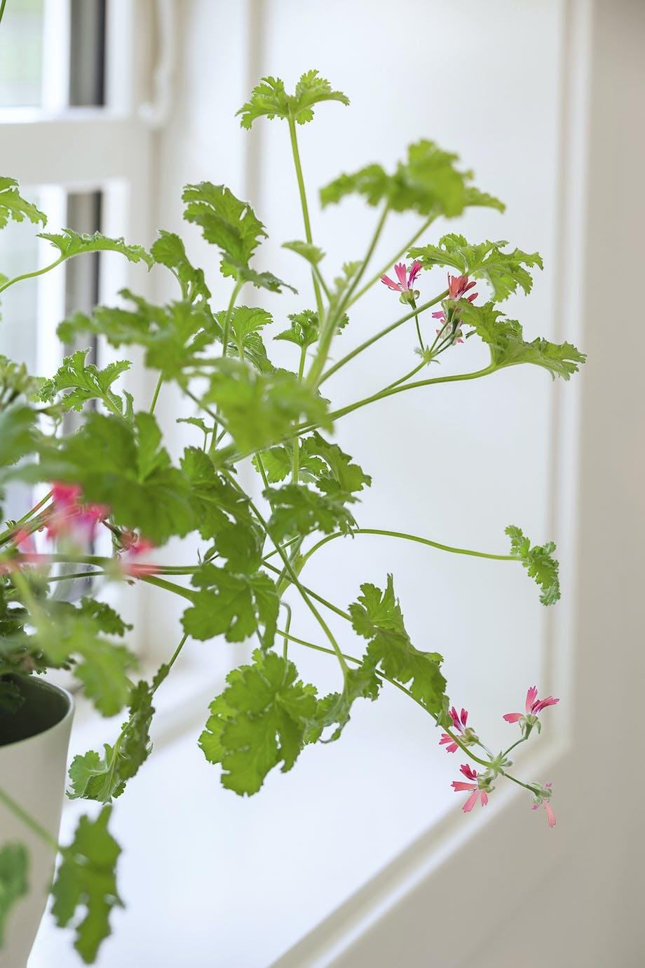 Plante vindueskarm