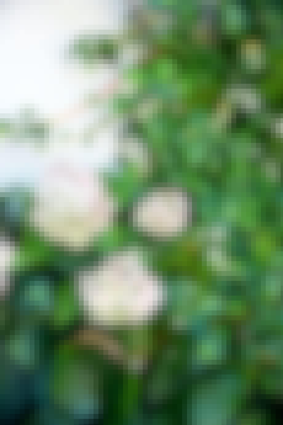 En vakker hortensia tåler mye
