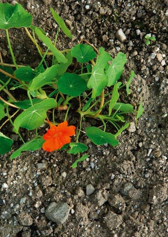 Blomst i salaten
