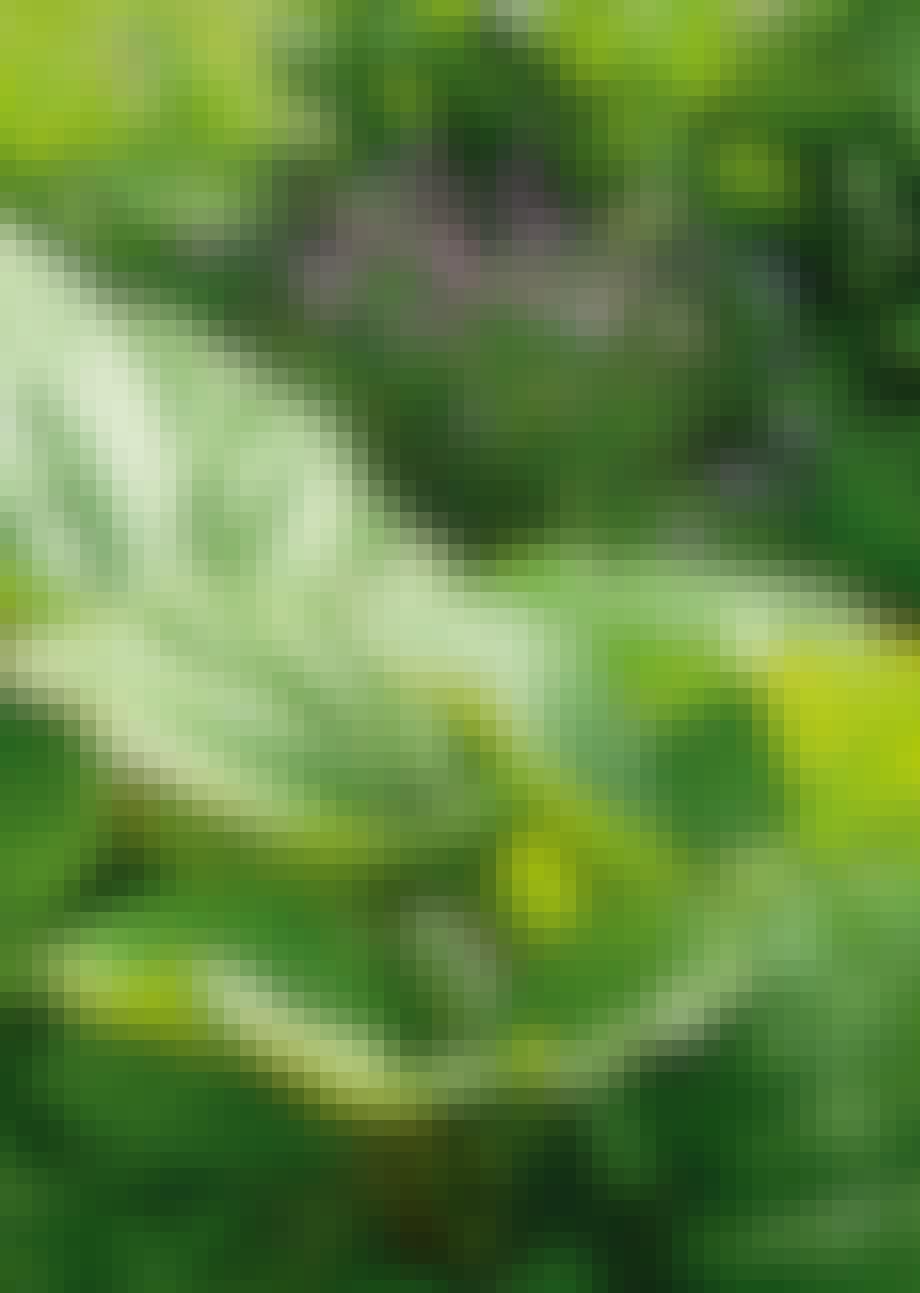 Gressløk og rabarbra