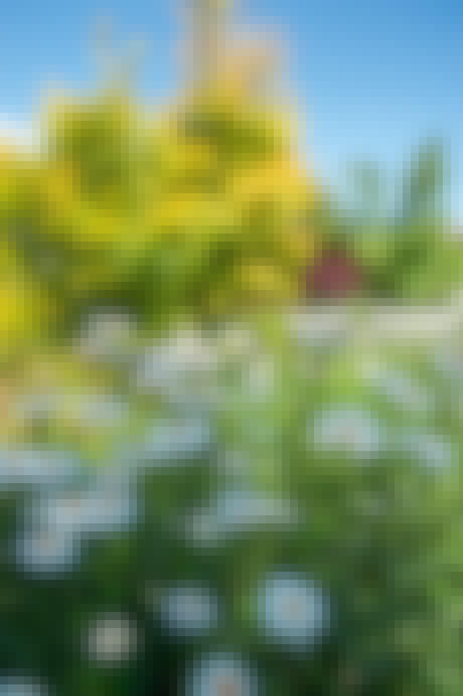 grøftkandsbed stauder hvide margueritter