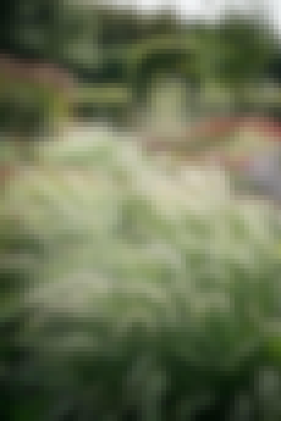 Græshave vilde græsser og blomster