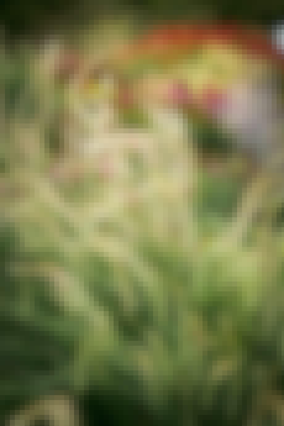 Græshave græsser blomster