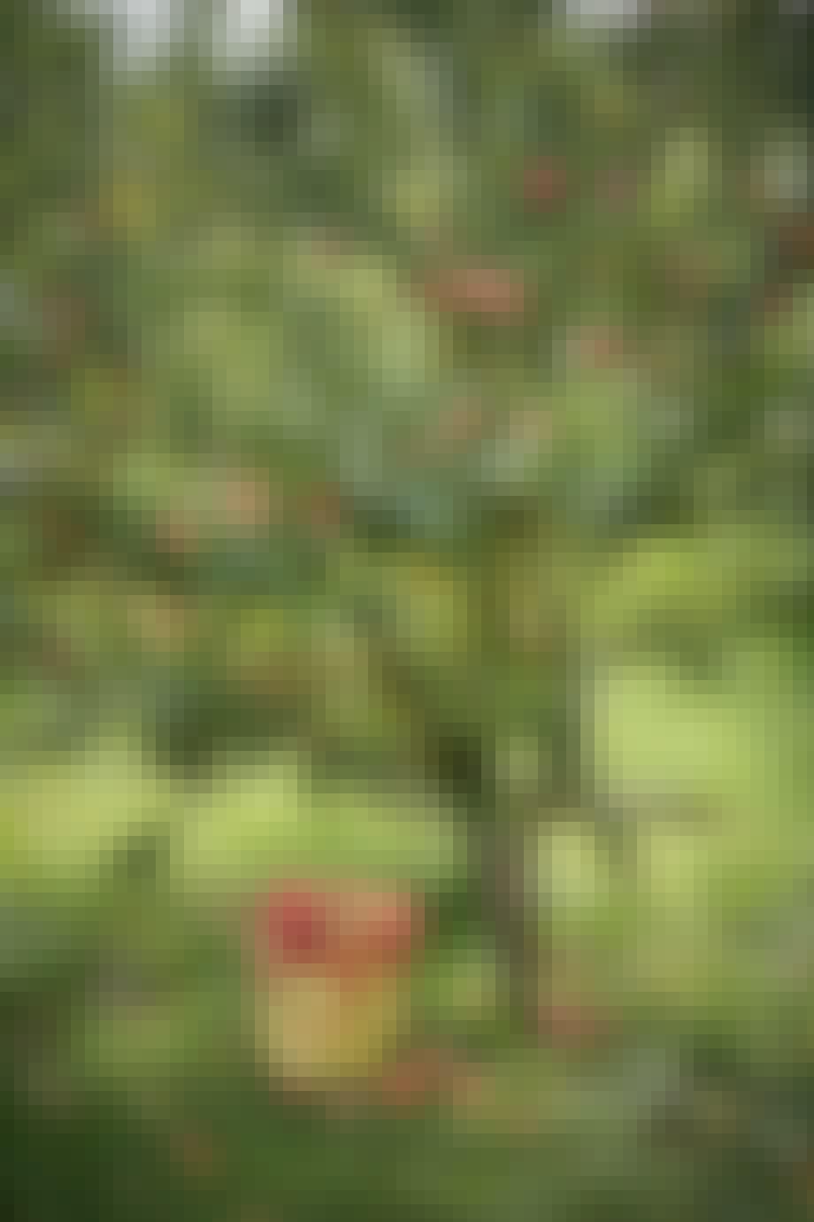 Æbletræ æblemost frugtttæ