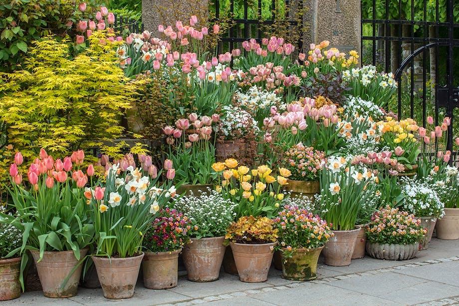 Tulipaner i krukker krukkehave blomster linjer
