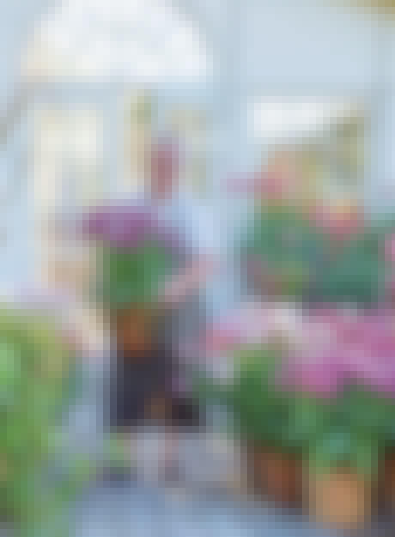 Claus Dalby tulipaner lilla og lyserød krukker potter blomsterhave