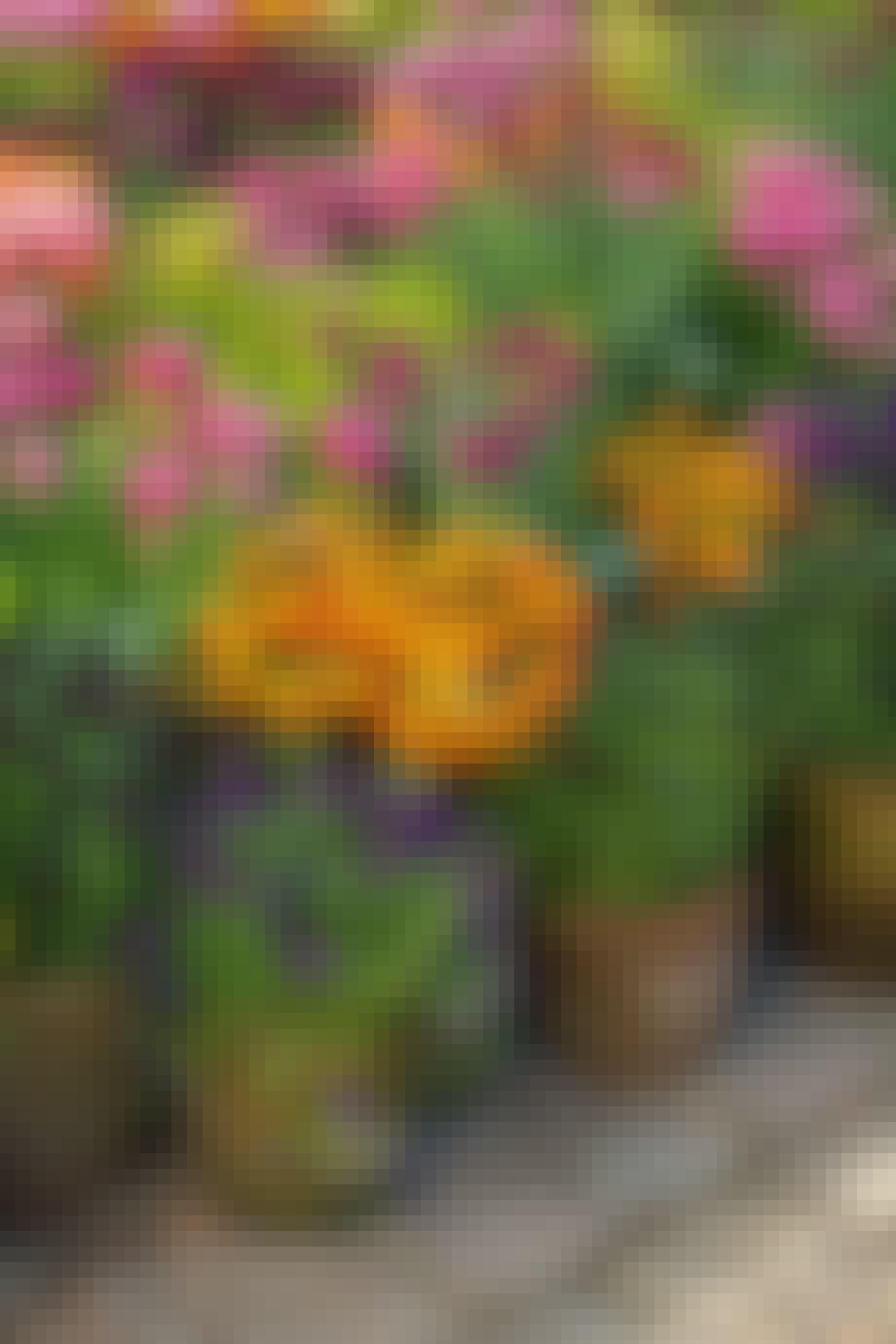 Tulipaner og stedmoderblomster i krukker og potter lilla orange og lyserøde blomster