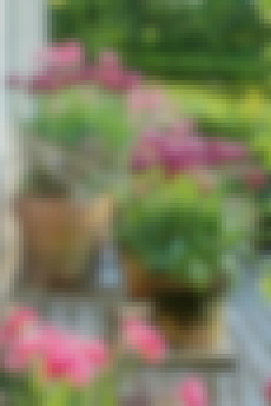 Tulipaner i lilla og lyserød nuancer i potter og krukker