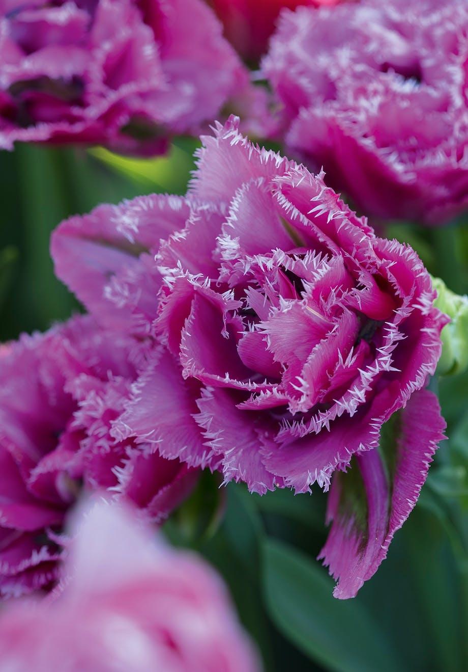 smuk lyserød lilla tulipan