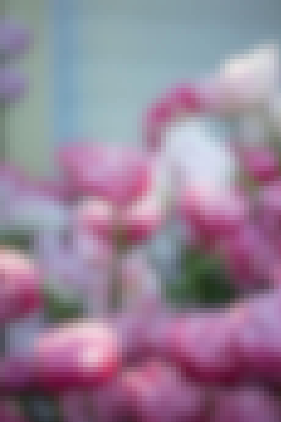 smukke tulipaner i lyserøde nuancer