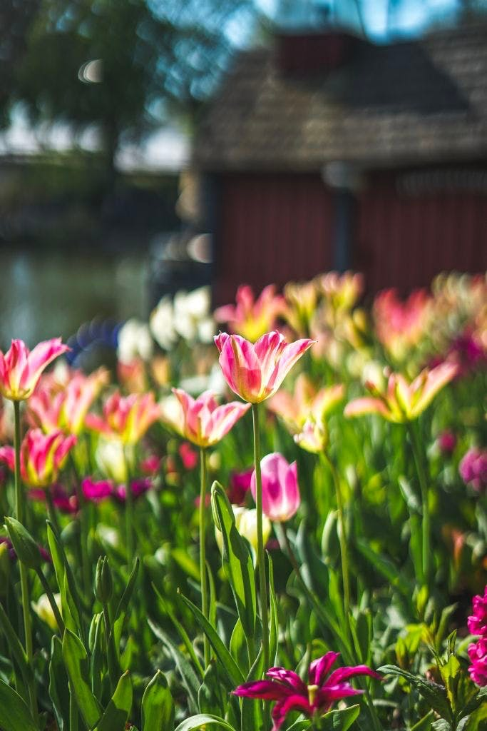 Tivoli tulipaner