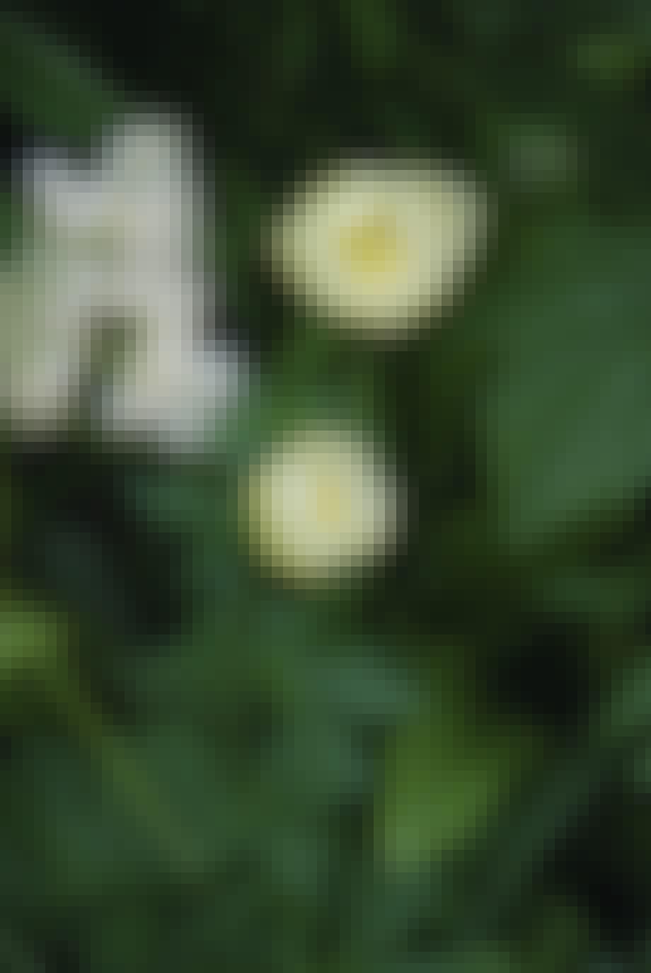 Engblomme, Trollius Europaeus, er en smuk staude, der lyser op i skovbunden.