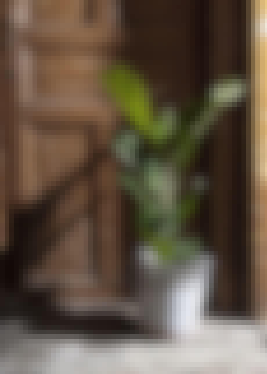 Grøn og dekorativ plante