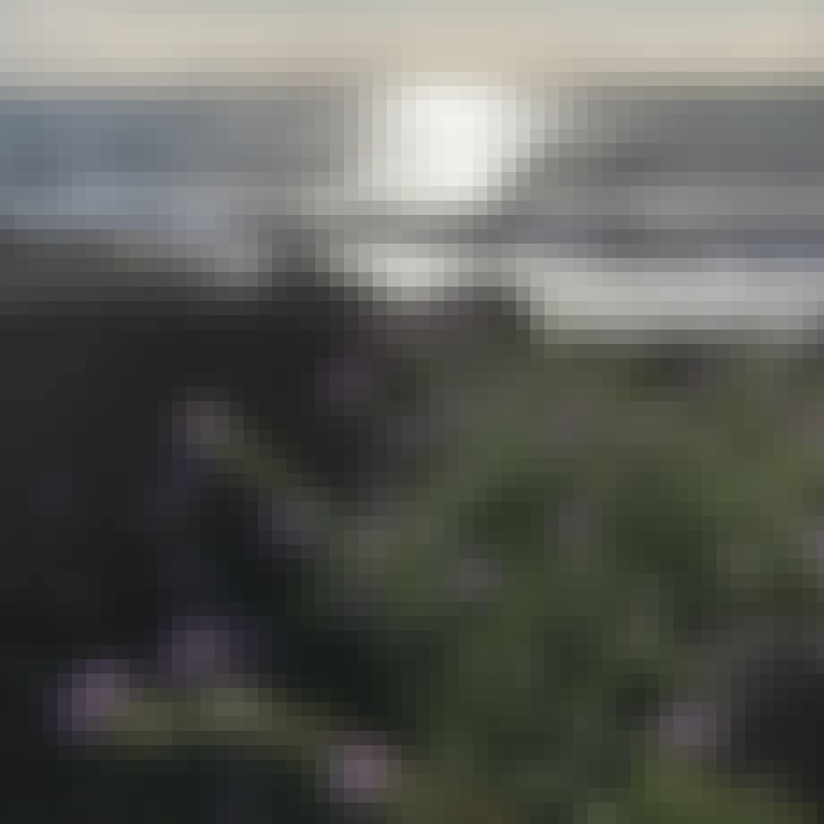 Vilde strandurter Strandsennep