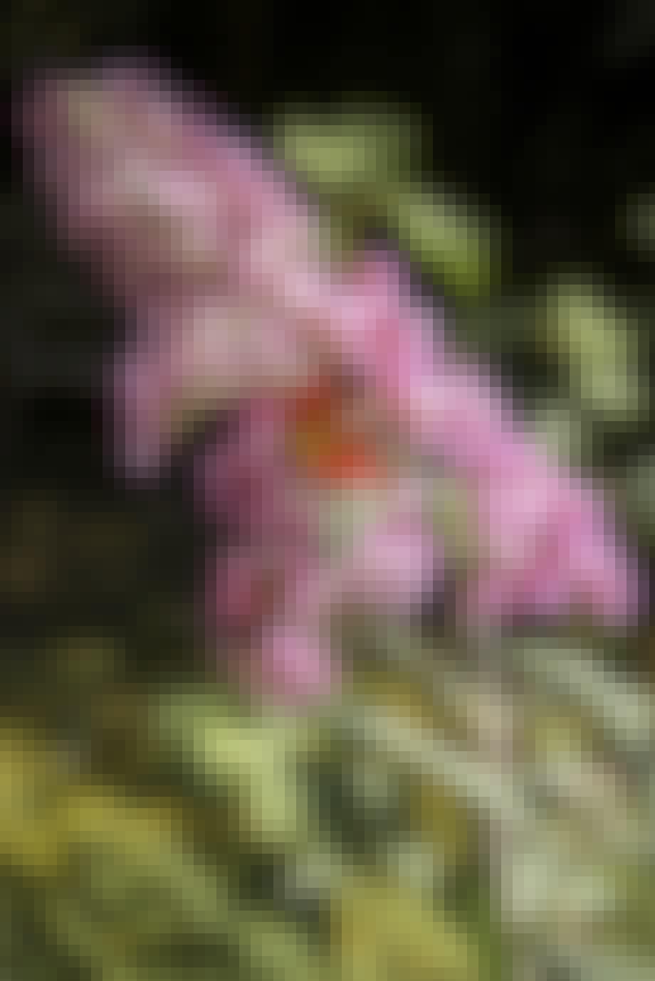 Buddleja, sommerfuglebusk, er en magnet for sommerfugle.