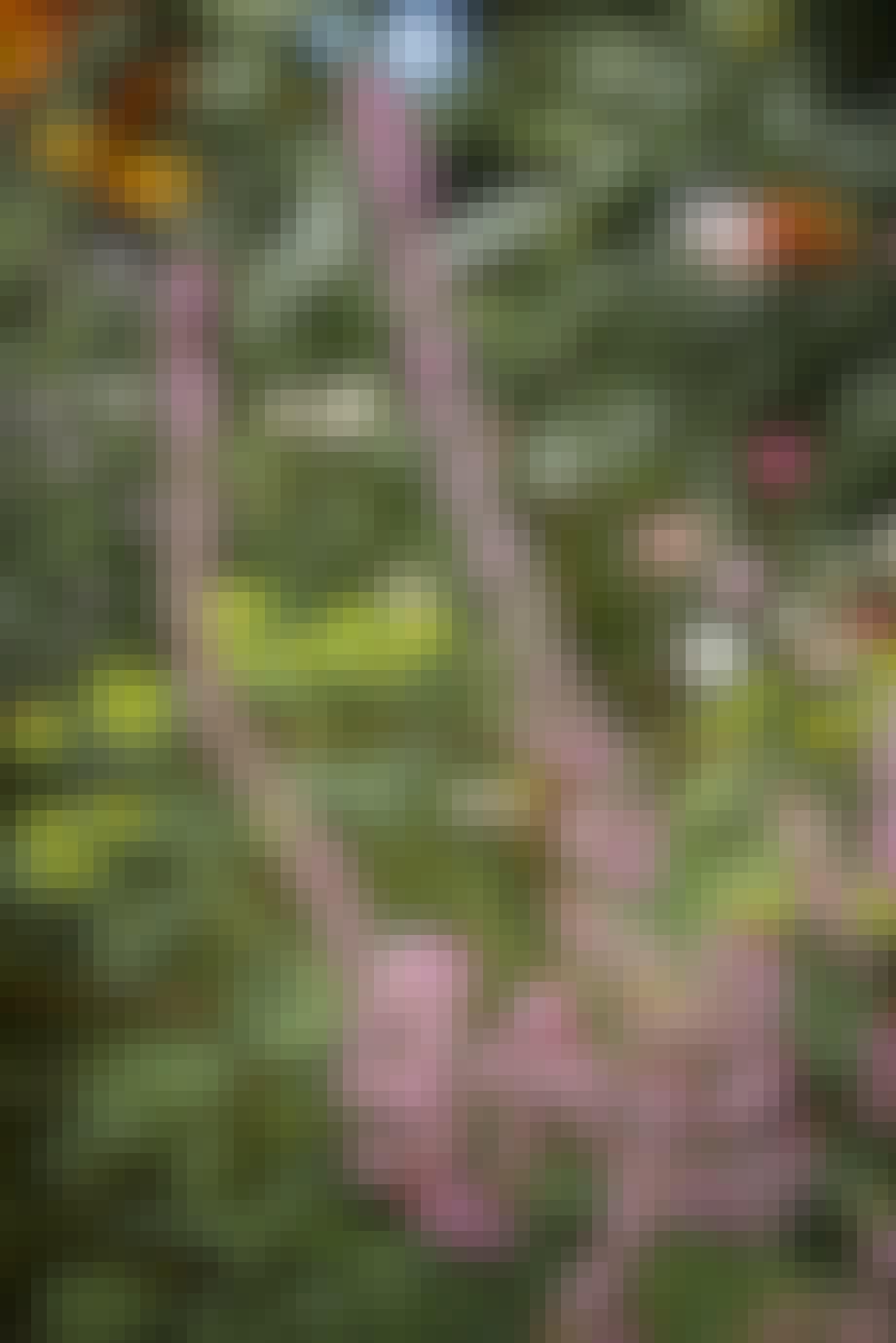 Limonium suworowii