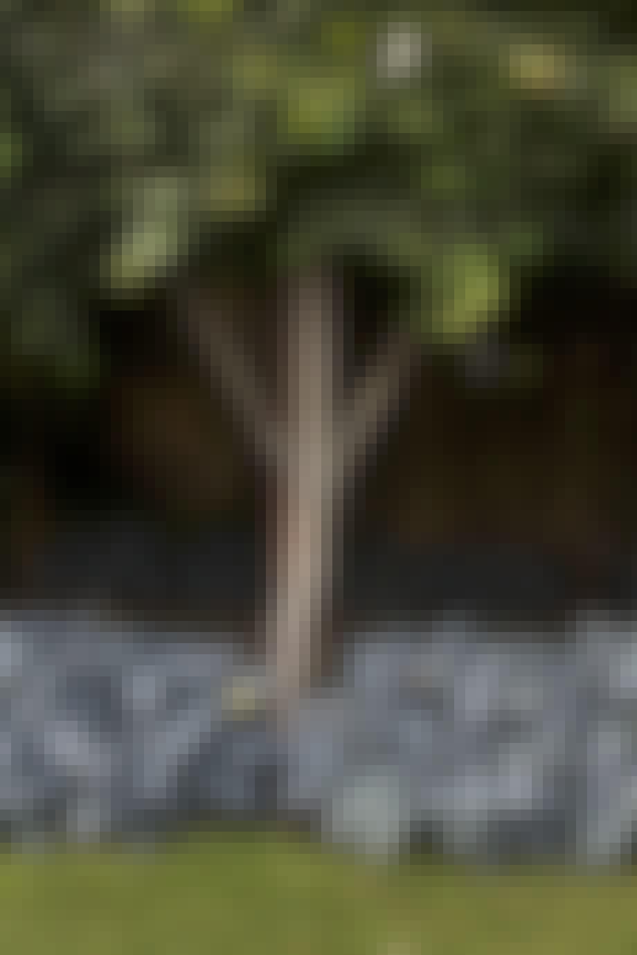 Espalierlindetræ