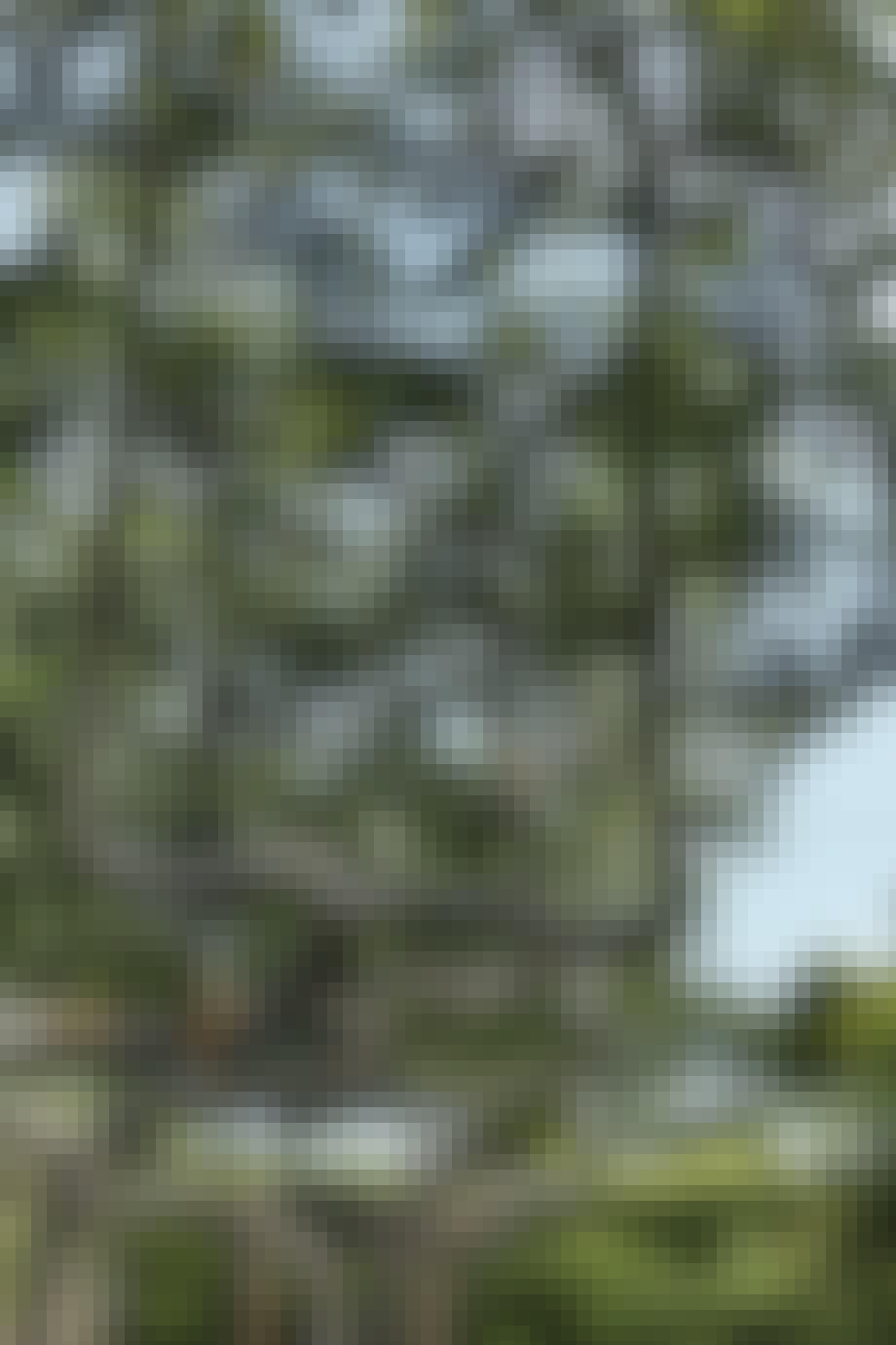 Skulpturelle Espalierfrugttræer