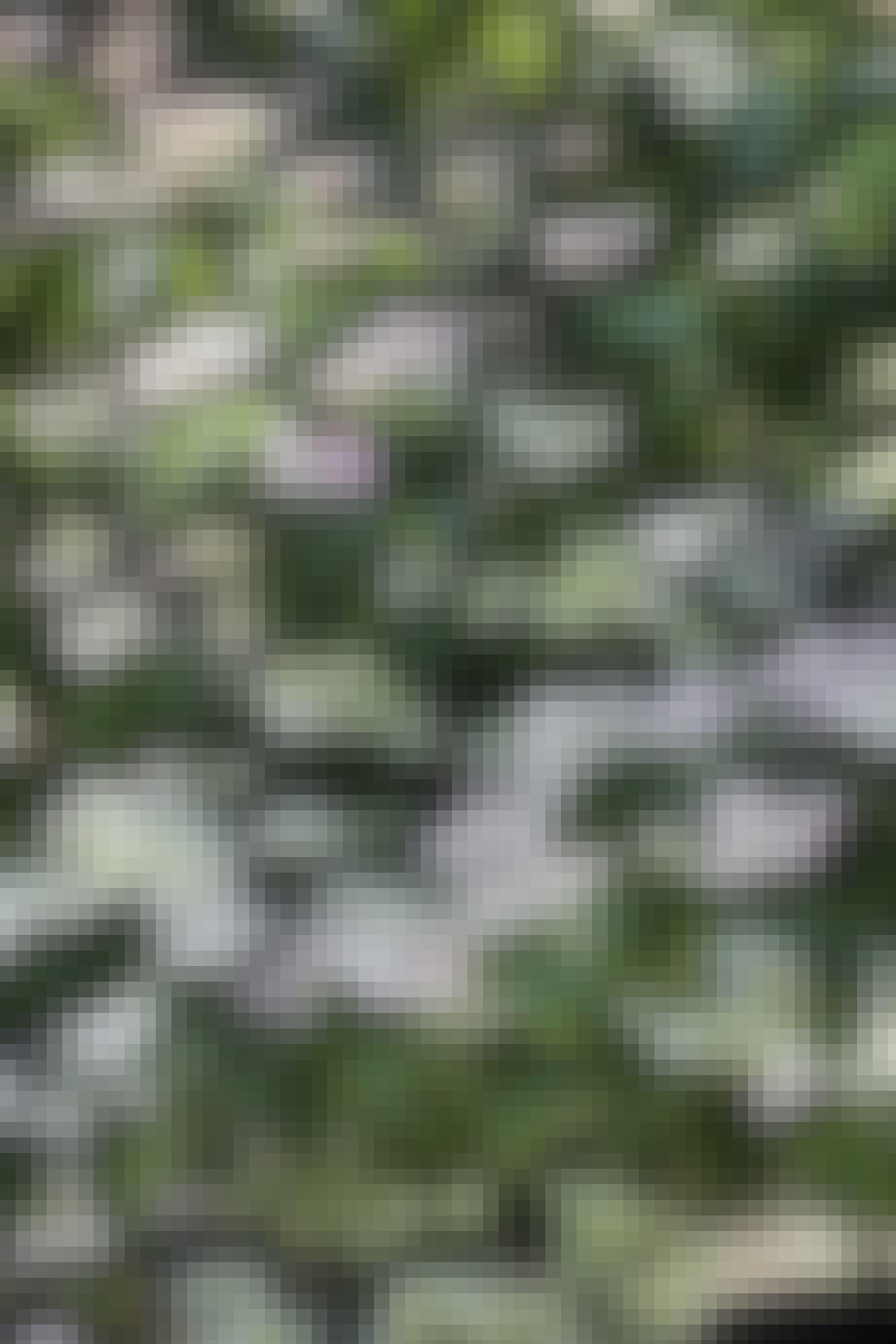 Blomsterflor af koreakornel