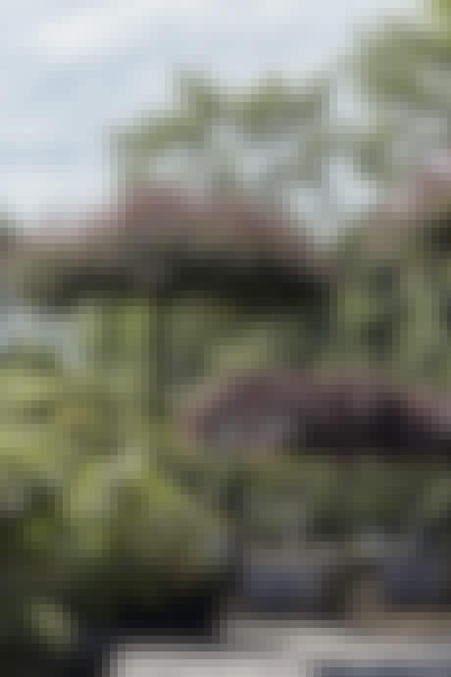 Japansk dværgahorn
