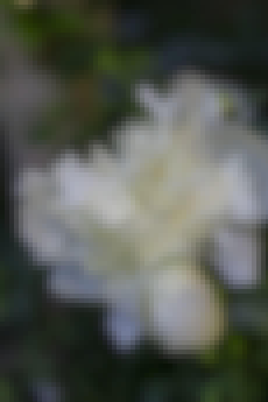 Hvid silkepæon