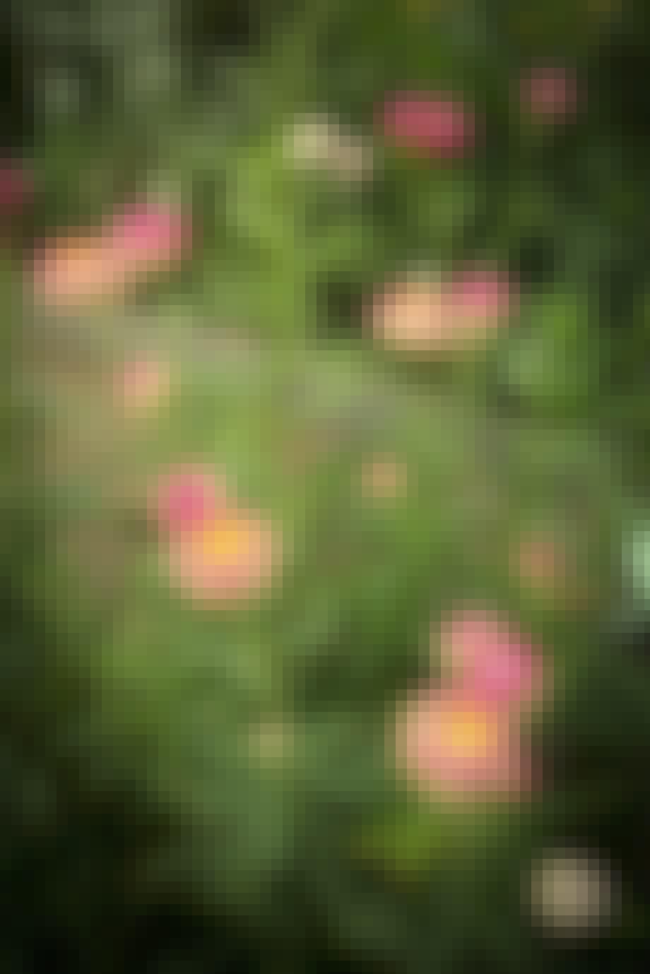 Evighedsblomsten 'Silvery Rose'