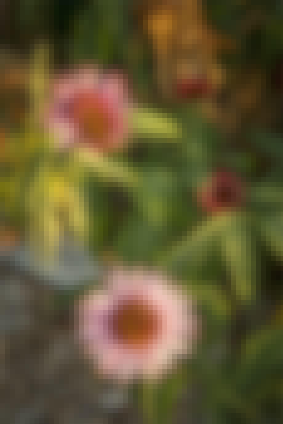 Purpursolhat, Echinacea purpurea