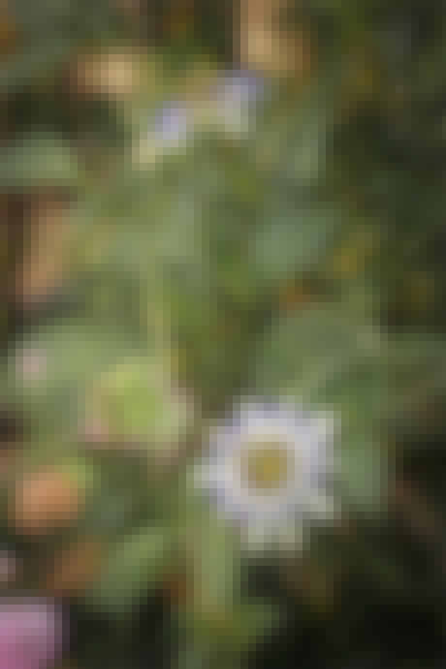 Purpursolhat og Astilbe 'Purperlanze'