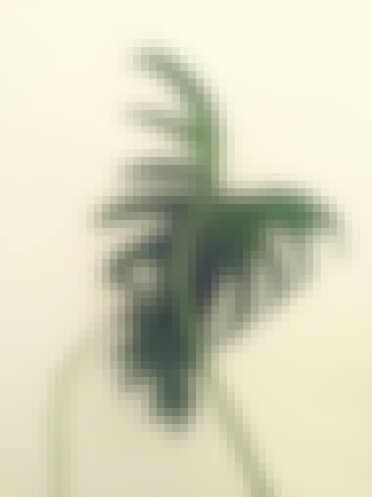Planten Philodendron Xanadu renser luften med sine grønne blade.