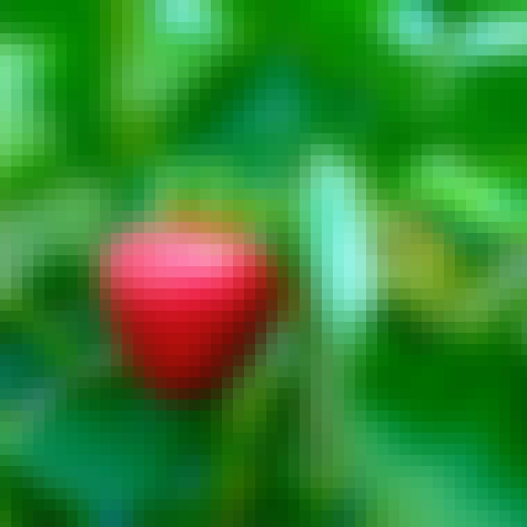 Lækre modne jordbær der kan plantes på altanen