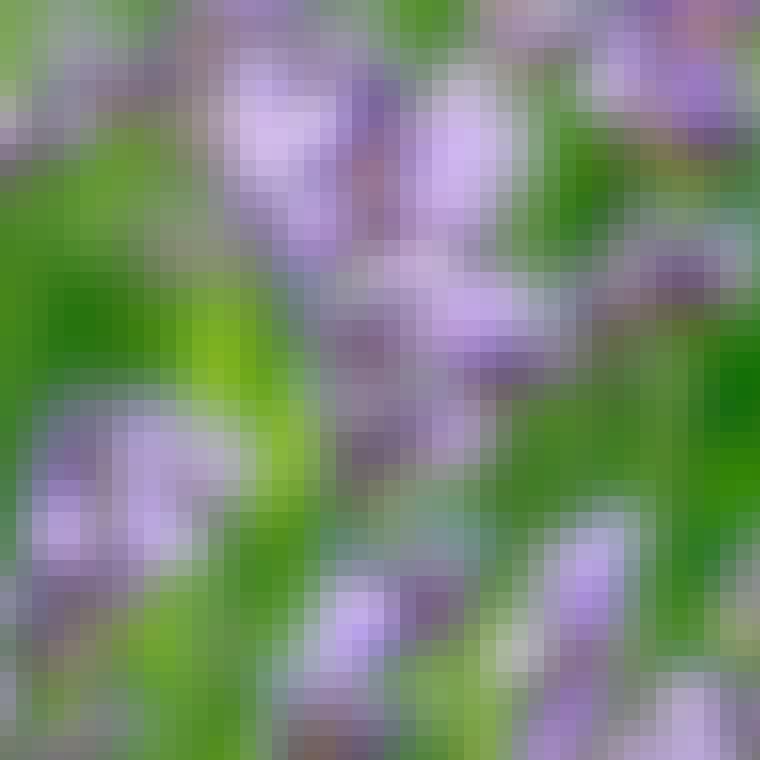 Lavendel er både velduftende og flotte i farven