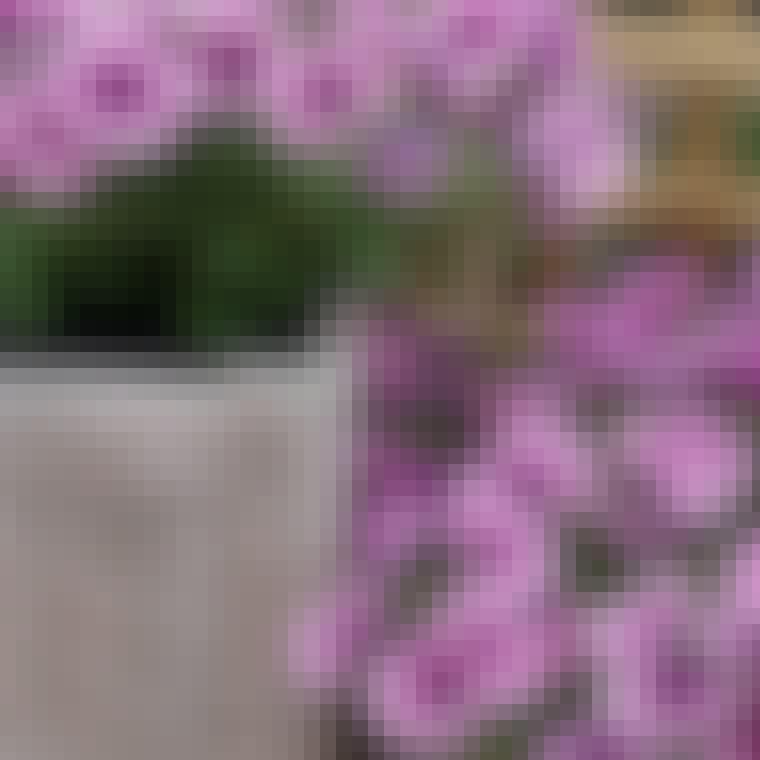 Petuniablomsten er farverig og pynter flot på altanen