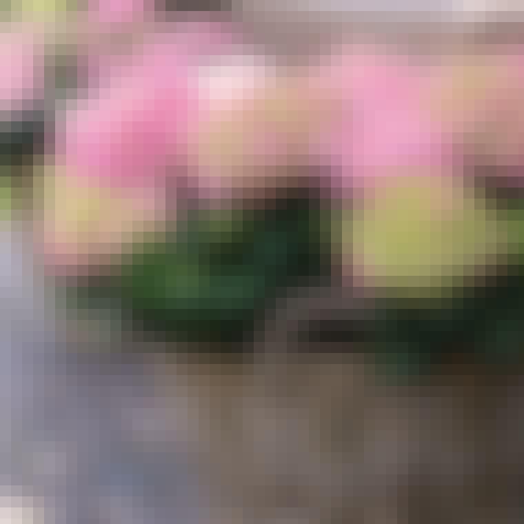 Pink og grønne hortensia blomster til altanen