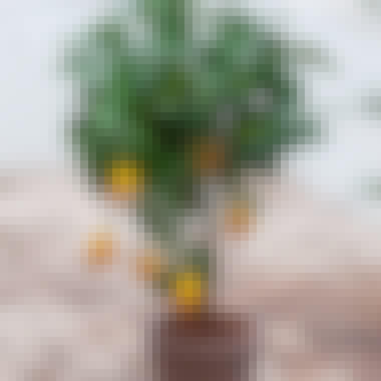 Lækre og velsmagende citrusfrugter til altanen
