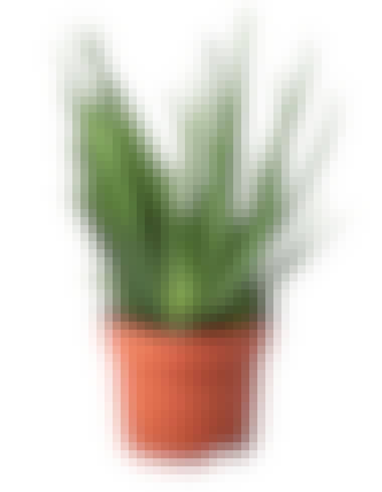 aloe-vera-planta1