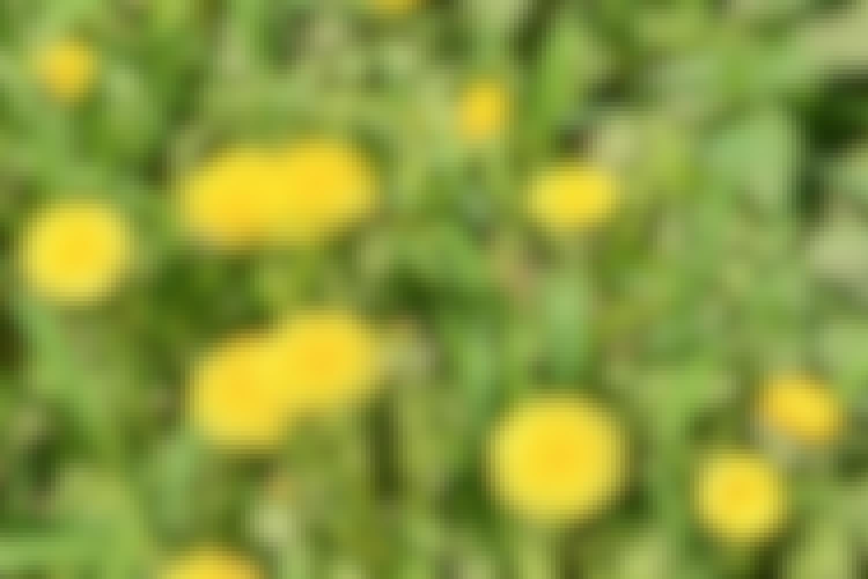 Maskrosorna