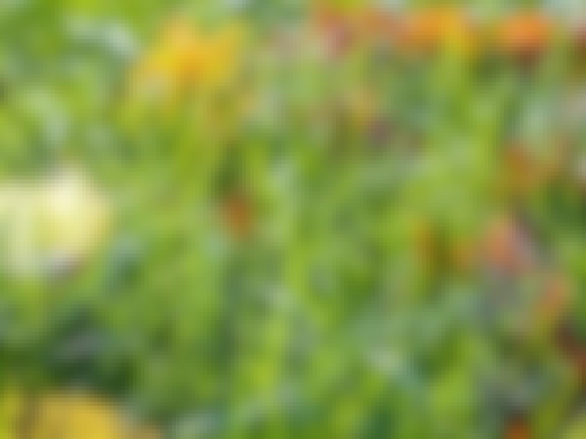 Gressplen lengde høst