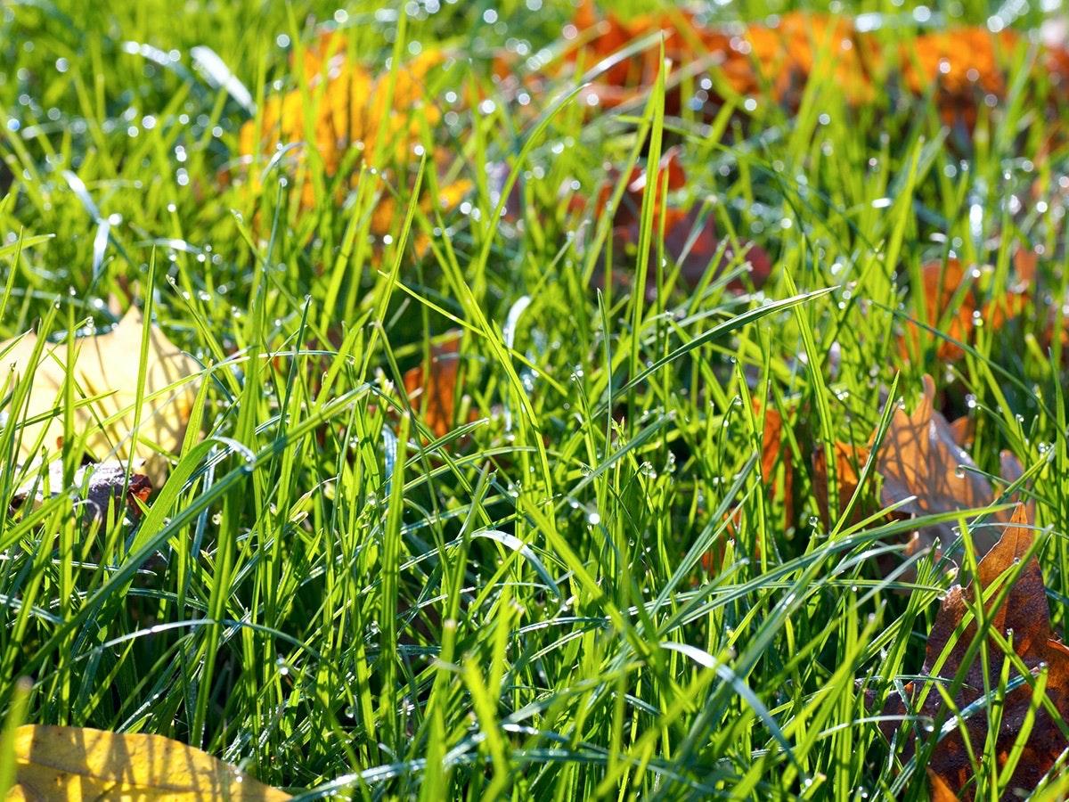 græsplæne efterår