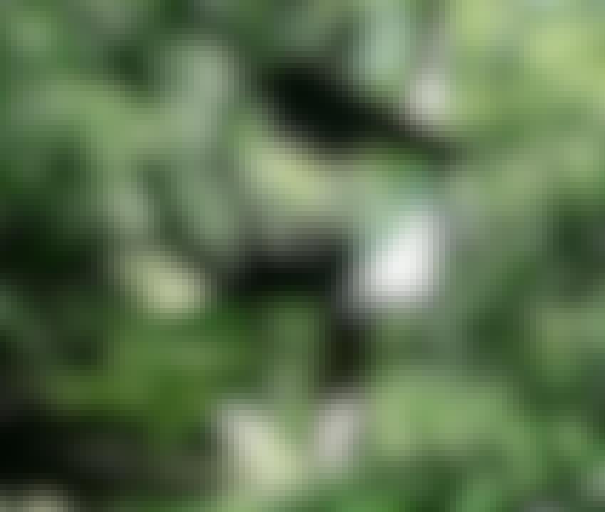 HULE I TRÆ: Højt oppe i træet, i ly af bladene, kan man gemme sig som en anden Robin Hood. Hvem ved , måske kommer Mor eller sheriffen af Nottingham forbi ...