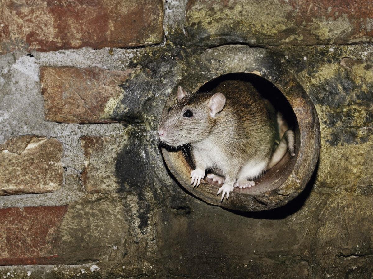 hvordan ser en rotterede ud