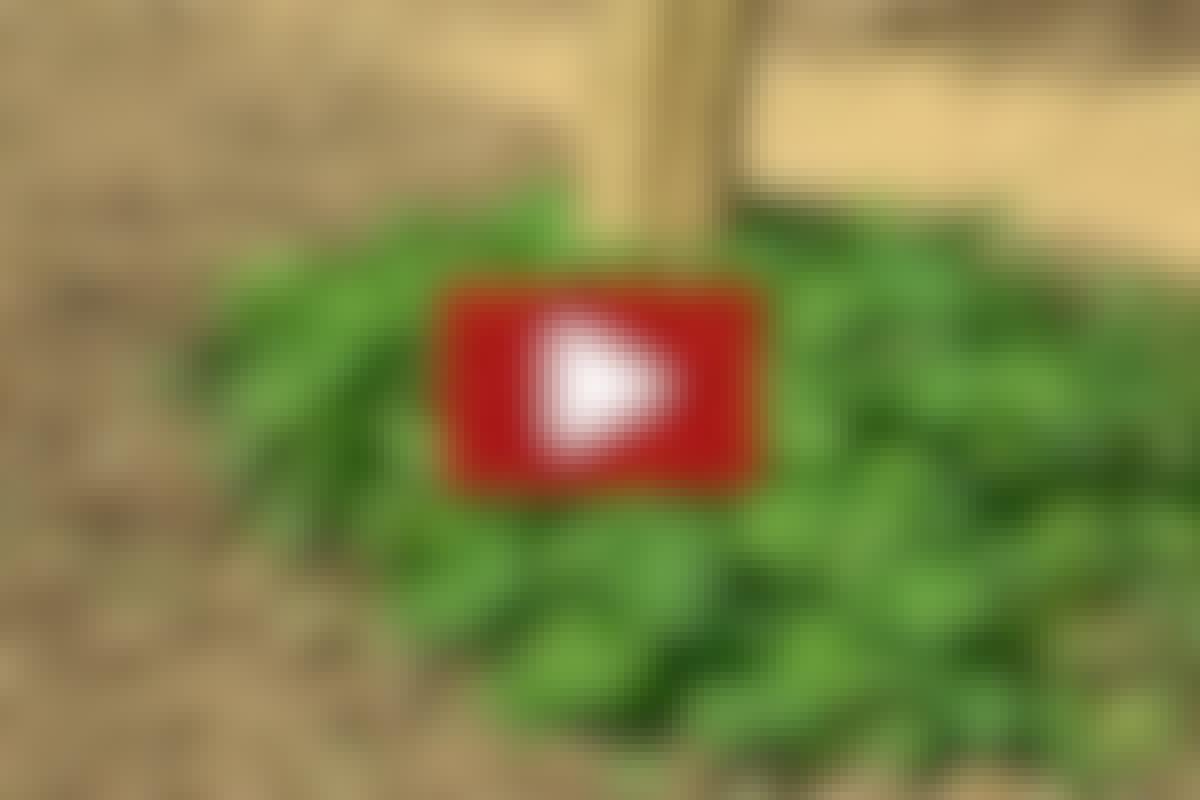 EKOLOGISK TRÄDGÅRD: Förebygg ogräs i trädgården