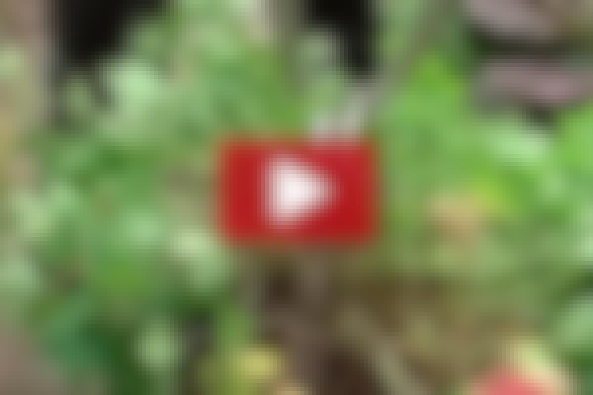 STAUDER: Få nye planter ved deling