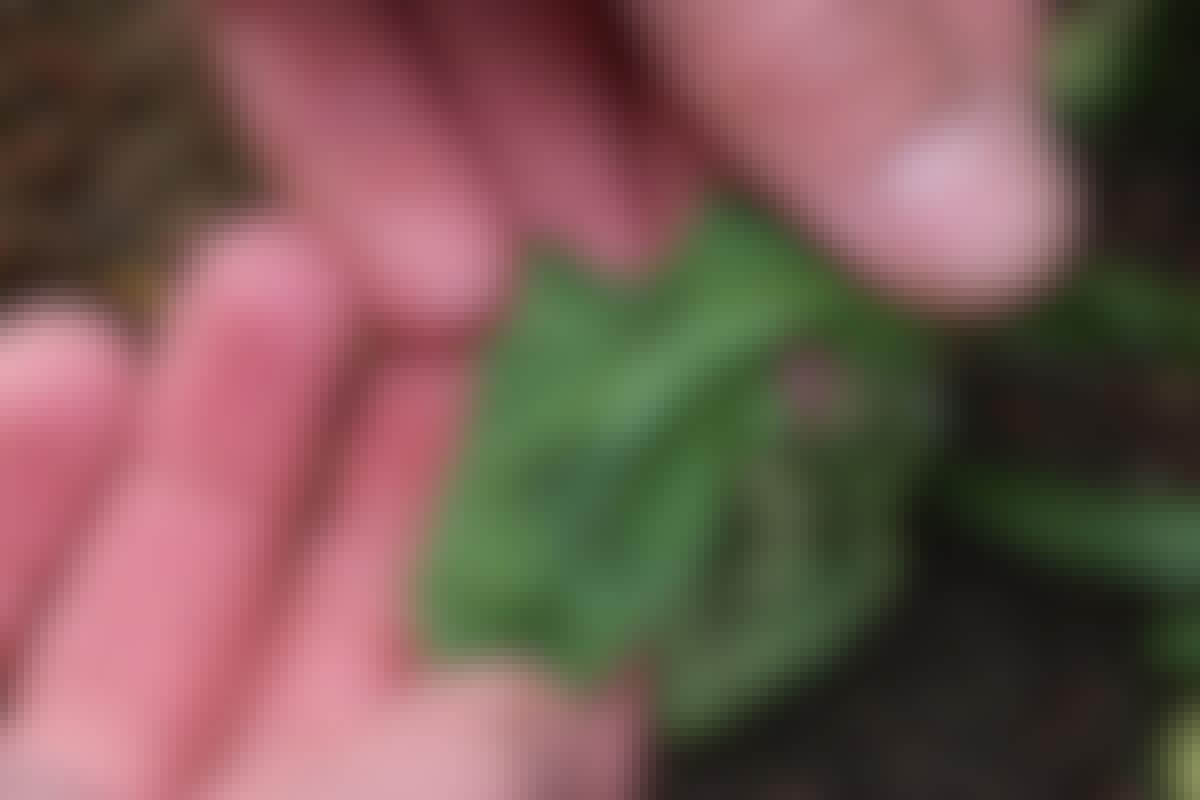 Det är lätt att kontrollera om värmen har skadat cellväggarna i bladen. Ta upp ett blad och kläm det mellan två fingrar. Blir det en mörk fläck så har du gjort på rätt sätt, cellerna har sprängts och växten torkar ihjäl.